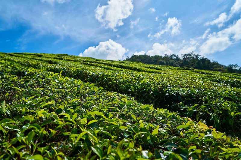 champs thé