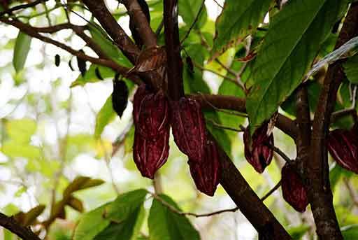 cacaoyer feve de cacao